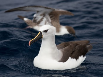 Atlantic_Yellow-nosed_Albatross